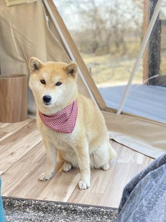 ペット同伴ドームテント 犬の写真