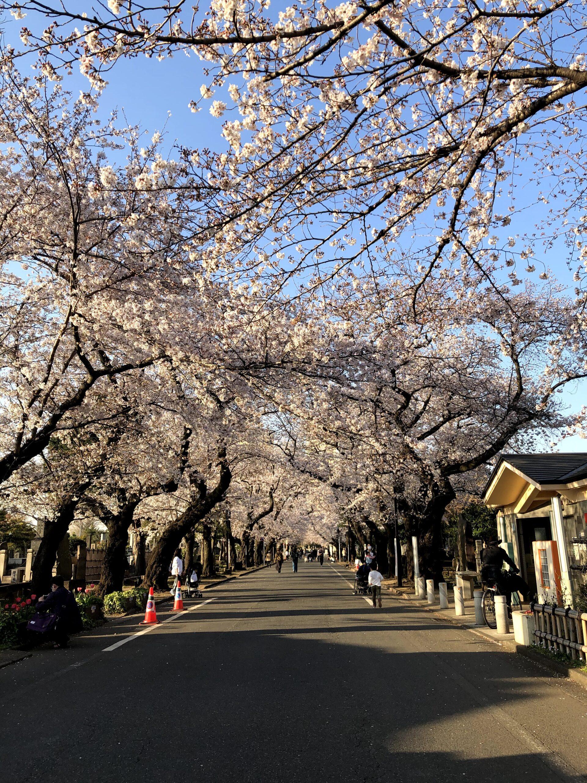谷中霊園の桜