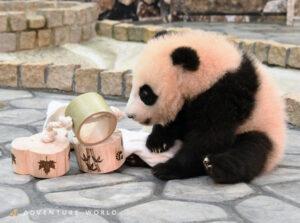 パンダ遊ぶ